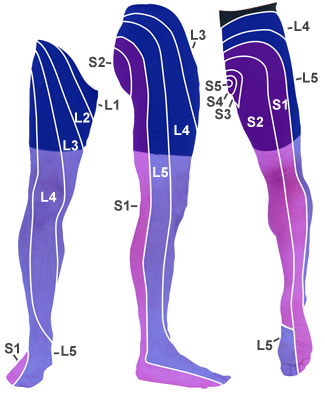 sciatic nerve distribution